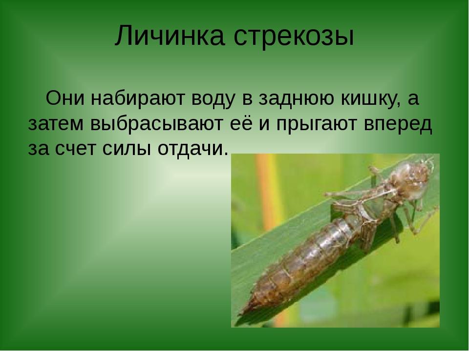Личинка стрекозы Они набирают воду в заднюю кишку, а затем выбрасывают её и п...