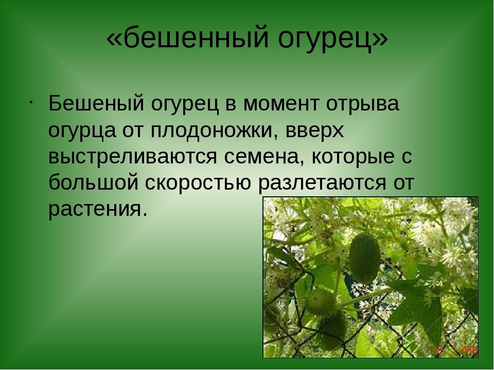 «бешенный огурец» Бешеный огурец в момент отрыва огурца от плодоножки, вверх...