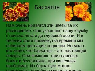 Бархатцы Нам очень нравятся эти цветы за их разноцветие. Они украшают нашу кл