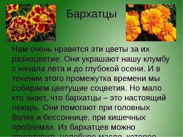 Бархатцы Нам очень нравятся эти цветы за их разноцветие. Они украшают нашу кл...