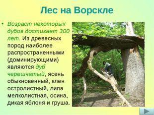 Лес на Ворскле Возраст некоторых дубов достигает 300 лет. Из древесных пород