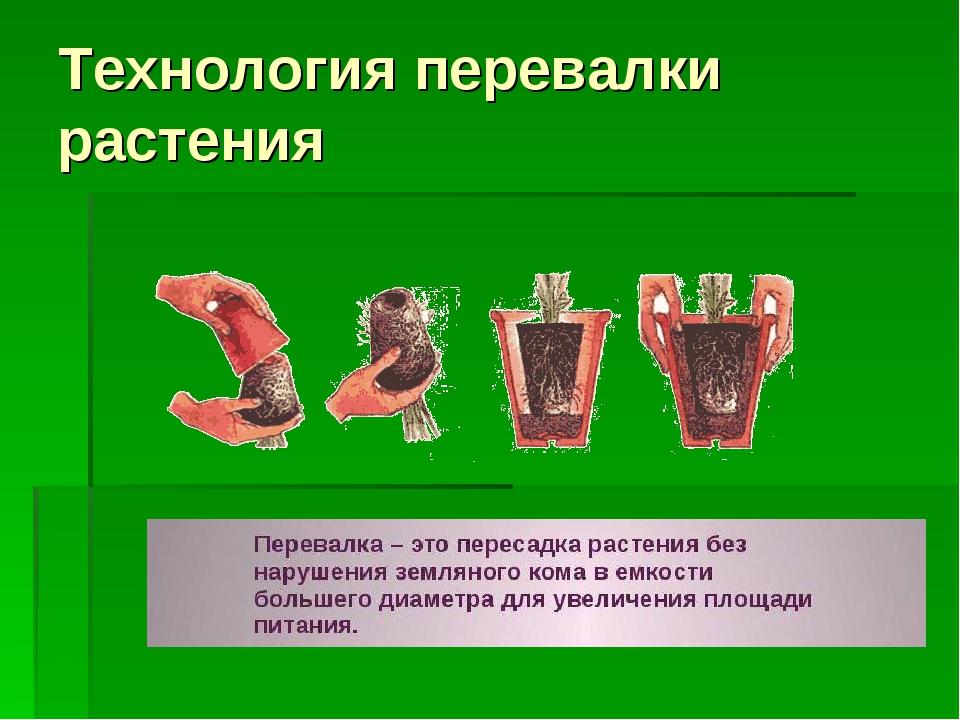 Технология перевалки растения