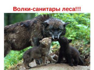Волки-санитары леса!!!
