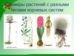 Примеры растений с разными типами корневых систем Гиацинт Кактус