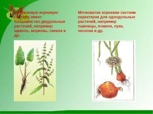 Стержневую корневую систему имеет большинство двудольных растений, например щ