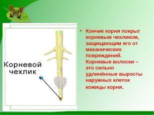 Кончик корня покрыт корневым чехликом, защищающим его от механических поврежд