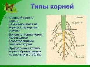 Главный корень-корень развивающийся из корешка зародыша семени. Боковые корни