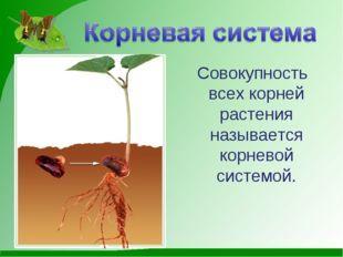 Совокупность всех корней растения называется корневой системой.