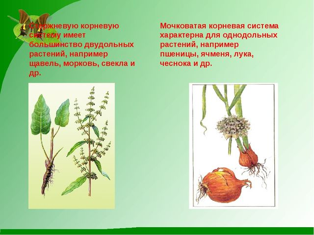 Стержневую корневую систему имеет большинство двудольных растений, например щ...