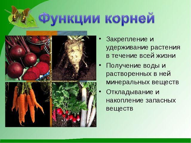 Закрепление и удерживание растения в течение всей жизни Получение воды и раст...