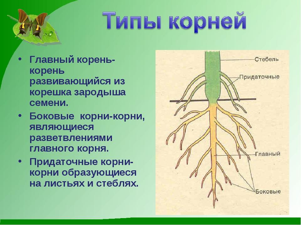 Главный корень-корень развивающийся из корешка зародыша семени. Боковые корни...