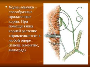 Корни-зацепки – своеобразные придаточные корни. При помощи таких корней расте