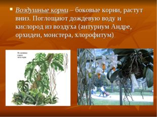 Воздушные корни – боковые корни, растут вниз. Поглощают дождевую воду и кисло