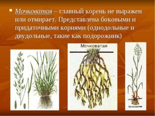 Мочковатая – главный корень не выражен или отмирает. Представлена боковыми и