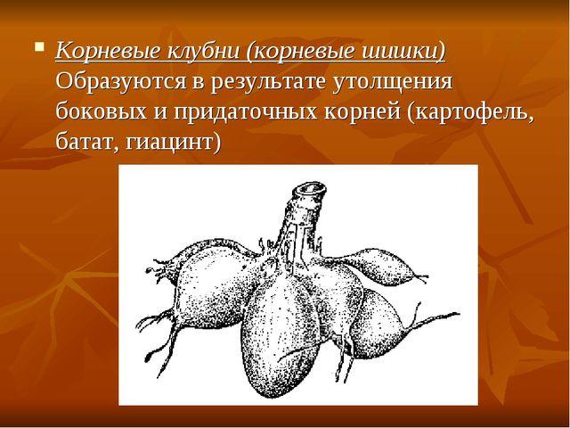 Корневые клубни (корневые шишки) Образуются в результате утолщения боковых и...