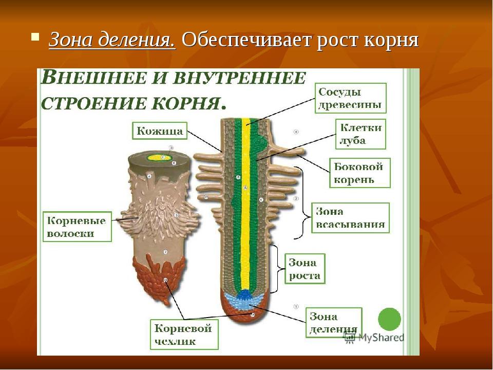 Зона деления. Обеспечивает рост корня