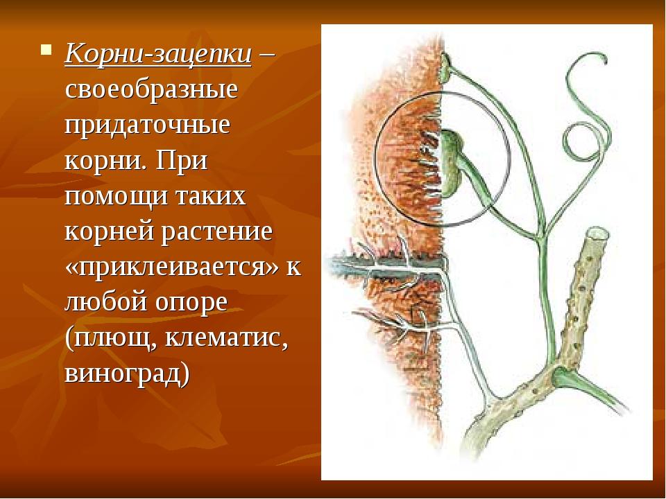 Корни-зацепки – своеобразные придаточные корни. При помощи таких корней расте...