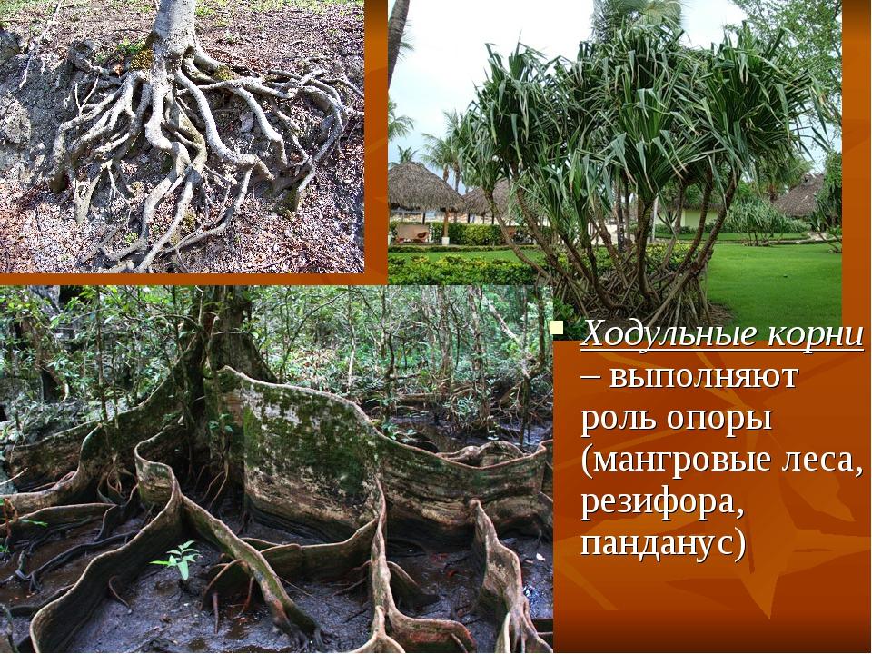 Ходульные корни – выполняют роль опоры (мангровые леса, резифора, панданус)