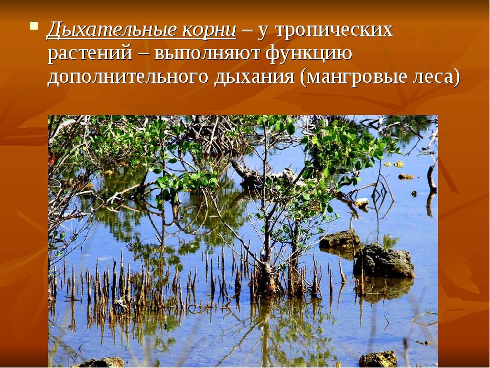 Дыхательные корни – у тропических растений – выполняют функцию дополнительног...