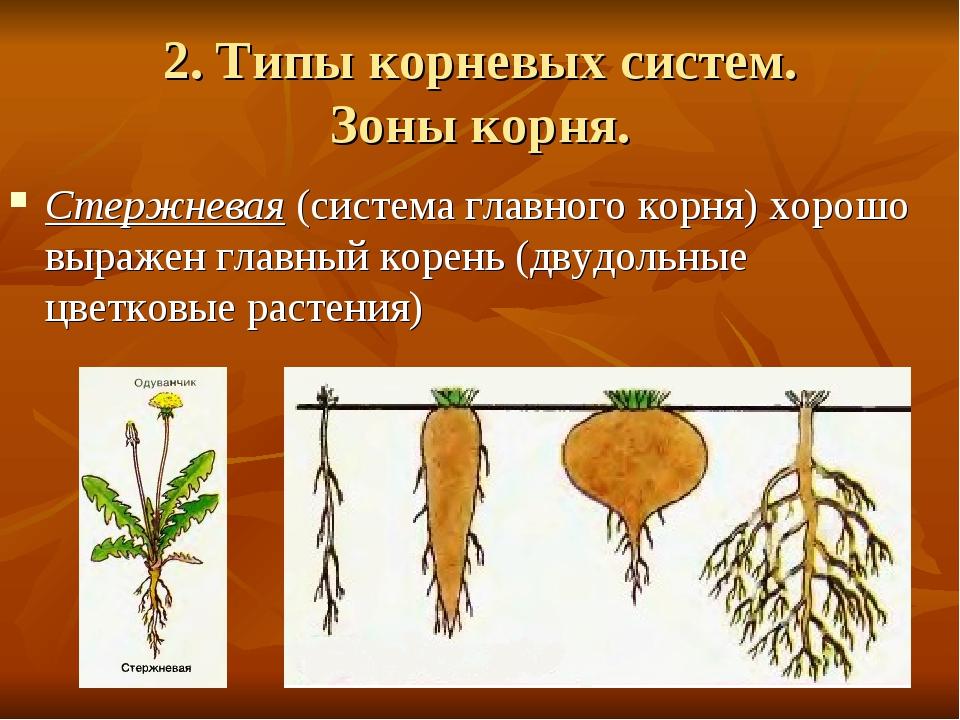 2. Типы корневых систем. Зоны корня. Стержневая (система главного корня) хоро...