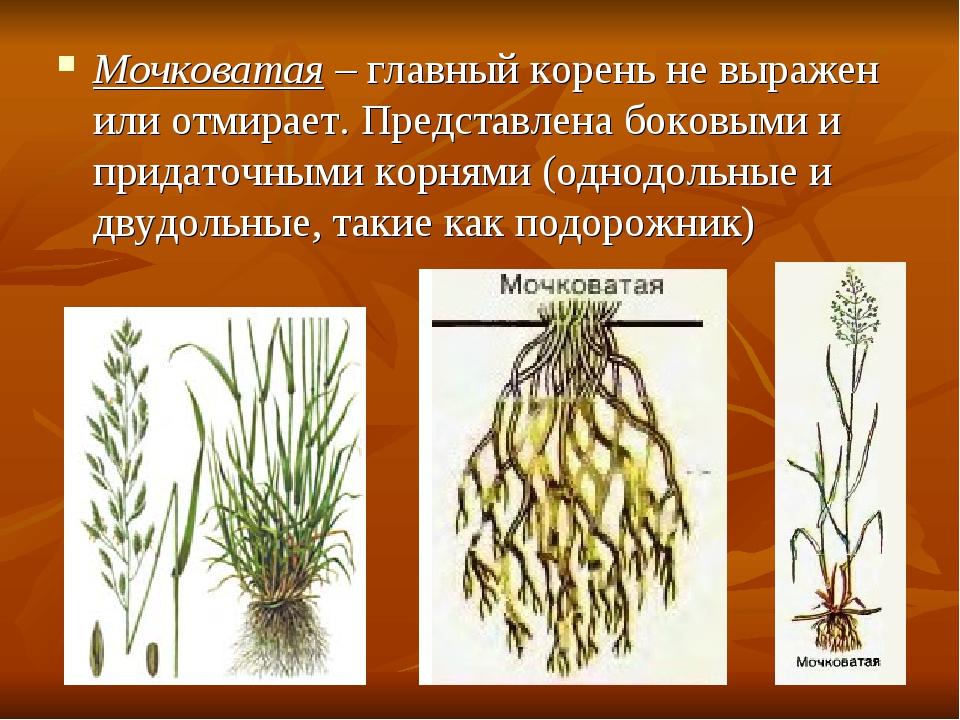 Мочковатая – главный корень не выражен или отмирает. Представлена боковыми и...