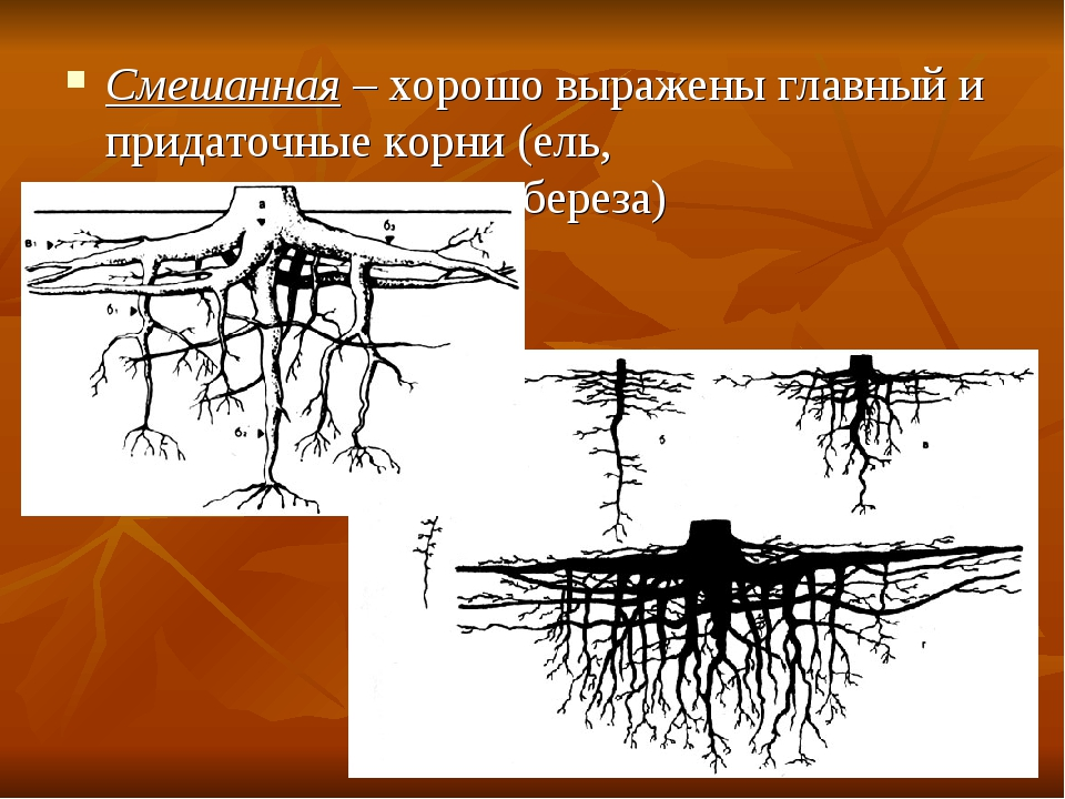 Смешанная – хорошо выражены главный и придаточные корни (ель, сосна, бе...