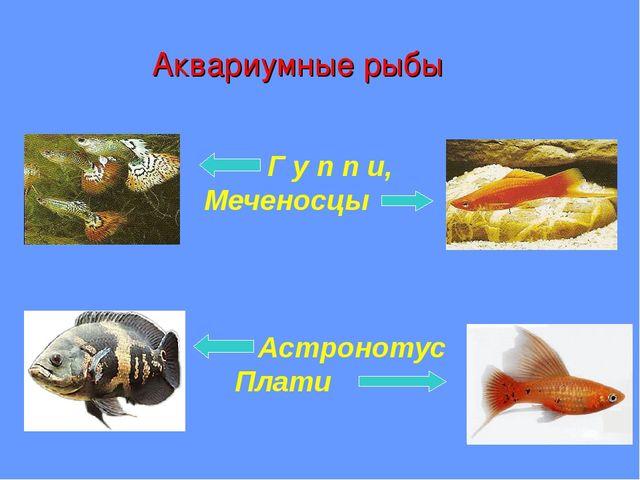 Аквариумные рыбы Г у п п и, Меченосцы Астронотус Плати