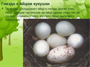 """Гнездо с яйцом кукушки """"Кукушка откладывает яйца в гнезда других птиц. Яйцо к"""