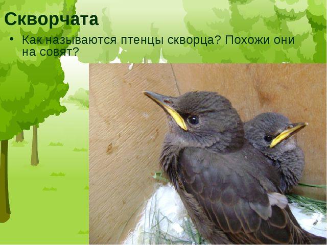 Скворчата Как называются птенцы скворца? Похожи они на совят?