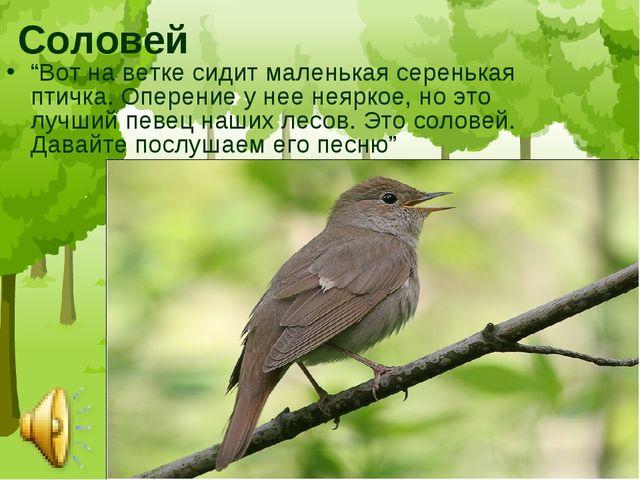"""Соловей """"Вот на ветке сидит маленькая серенькая птичка. Оперение у нее неярко..."""