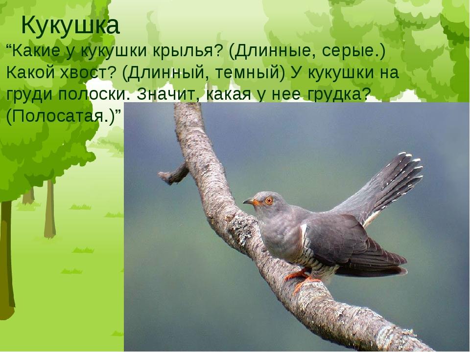 """Кукушка """"Какие у кукушки крылья? (Длинные, серые.) Какой хвост? (Длинный, тем..."""