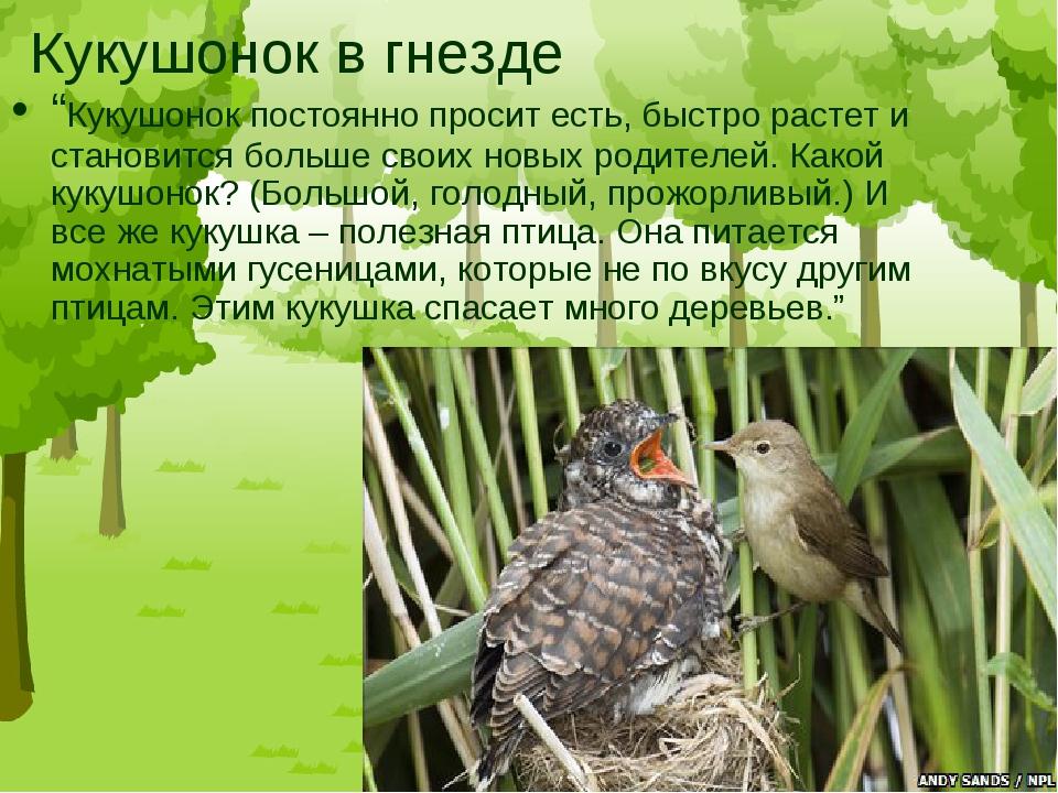 """Кукушонок в гнезде """"Кукушонок постоянно просит есть, быстро растет и становит..."""