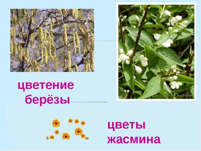 цветение берёзы цветы жасмина