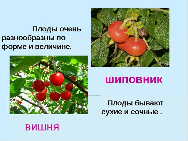 Плоды очень разнообразны по форме и величине. Плоды бывают сухие и сочные ....