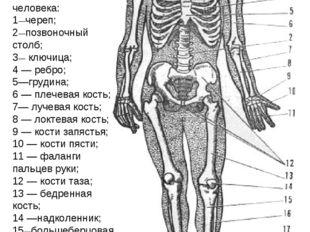 Рис. 1. Скелет человека: 1—череп; 2—позвоночный столб; 3— ключица; 4 — ребро;