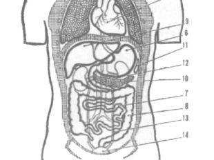 Рис. 2. Расположение внутренних органов: 1 — сердце; 2 — аорта; 3 — трахея; 4