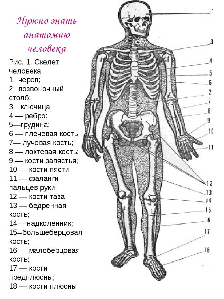 Рис. 1. Скелет человека: 1—череп; 2—позвоночный столб; 3— ключица; 4 — ребро;...