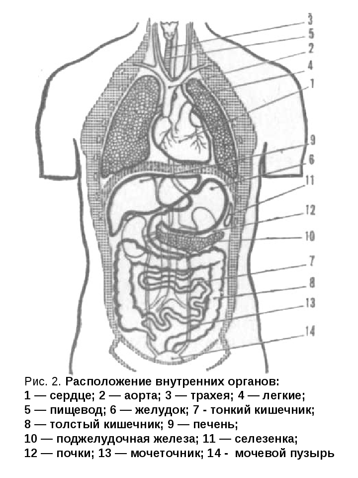 Рис. 2. Расположение внутренних органов: 1 — сердце; 2 — аорта; 3 — трахея; 4...