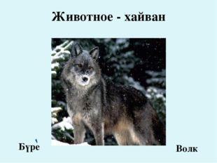 Животное - хайван Бүре Волк