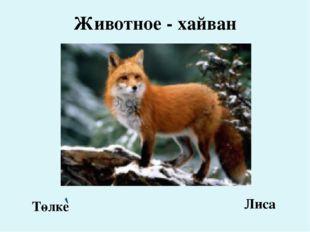 Животное - хайван Төлке Лиса