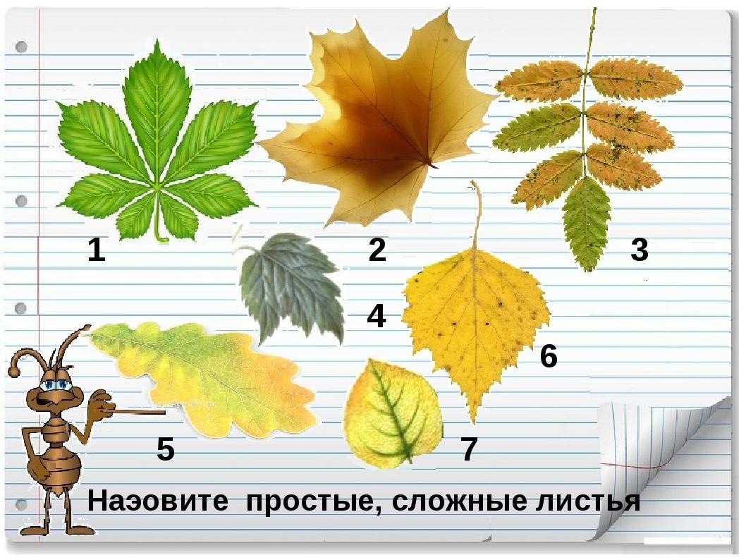 Наэовите простые, сложные листья 1 2 3 4 5 6 7