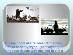 "The main tool of a reindeer farmer has always been ""tynzyan"" (or ""tynyan"") –a"