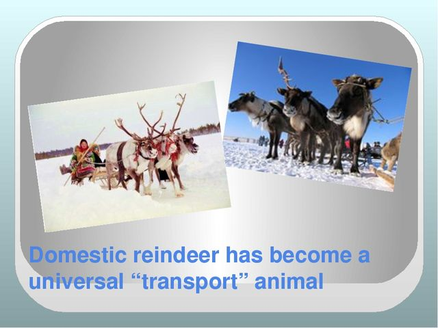 "Domestic reindeer has become a universal ""transport"" animal"