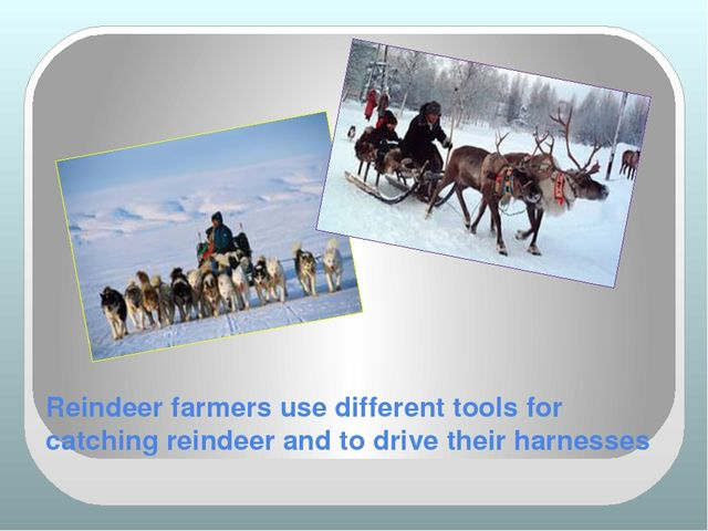 Reindeer farmers use different tools for catching reindeer and to drive their...