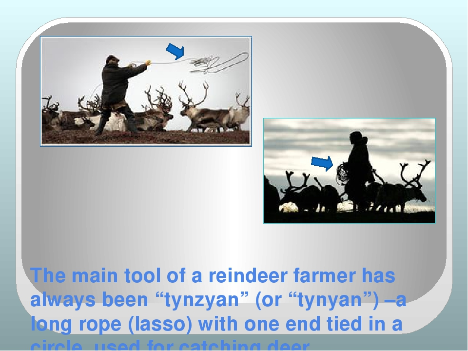 "The main tool of a reindeer farmer has always been ""tynzyan"" (or ""tynyan"") –a..."