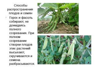 Способы распространения плодов и семян Горох и фасоль собирают, не дожидаясь