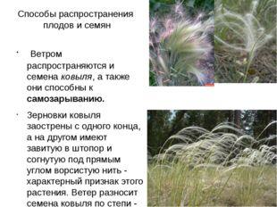 Способы распространения плодов и семян Ветром распространяются и семена ковыл