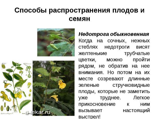 Способы распространения плодов и семян Недотрога обыкновенная Когда на сочных...