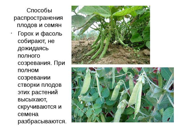 Способы распространения плодов и семян Горох и фасоль собирают, не дожидаясь...