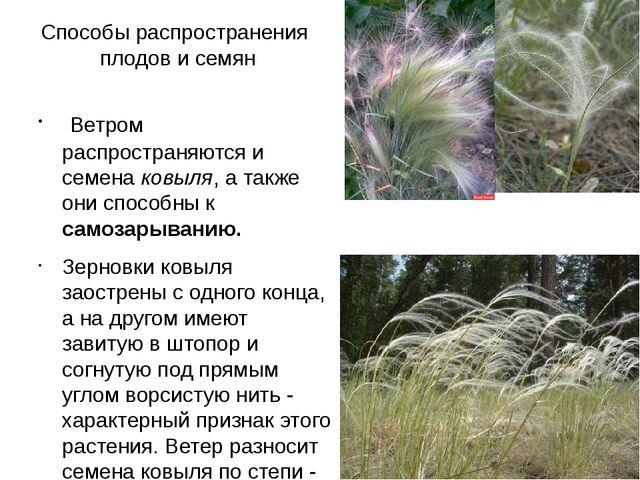 Способы распространения плодов и семян Ветром распространяются и семена ковыл...
